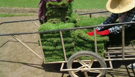 กปูหญ้า,การจัดสวน